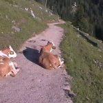 Kühe auf dem Königsweg