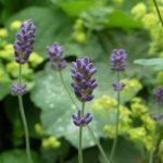 Lavendel und Frauenmantel