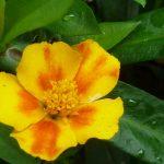 Tagetes gelb/orange