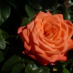 Rose lachsfarben