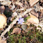 Lila Krokus – der Frühling kommt