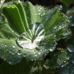 Große Wassertropfen – Gemeiner Frauenmantel (Alchemilla vulgaris)