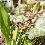 Bärlauch (links – Allium ursinum) und Efeublatt (rechts – Hedera helix)
