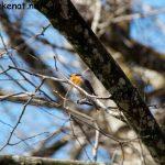 Rotkehlchen (Erithacus rubecula) im Baum sitzend und fleißig singend