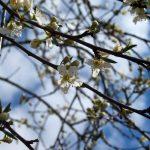 Kirschblüte (?)