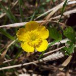 Butterblume oder Scharfer Hahnenfuß ((Ranunculus acris)