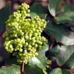Zierlorbeer – Lorbeerkirsche (Prunus laurocerasus)