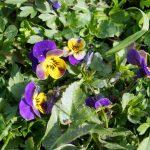 Wiesenveilchen (Viola pumila)