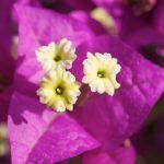 "Drillingsblume (Bougainvillea spectabilis ""Amethyst"")"