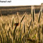 Schmetterling im Roggenfeld – Sonnenuntergang