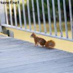Eichhörnchen auf dem Eisernen Steg (Regensburg)
