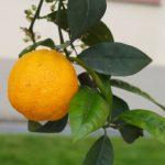 Orangenbäumchen auf der Insel Mainau