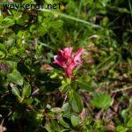 Almrausch – Rhododendron hirsutum