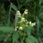 Bunter Hohlzahn – Galeopsis speciosa