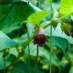 Echte Tollkirsche – Atropa bella-donna – giftig