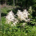 Geißbart – Aruncus dioicus