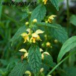 Goldnessel – Lamium galeobdolon