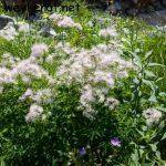 Große Wiesenraute – Thalictrum aquilegiifolium
