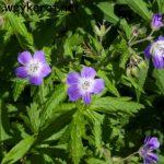 Wald-Storchschnabel – Geranium sylvaticum