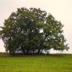 Baum am Höglwörthersee