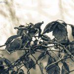 Brombeeren im Winter